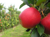 Take a car ride along the Quebec apple route. Get to know it.