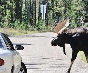 C'est le temps de la chasse : quoi faire si vous croisez un orignal sur la route!